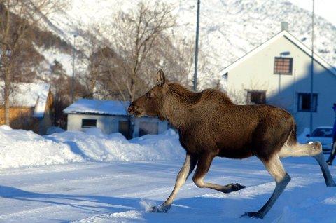 Elg på vinteren. Arkivfoto.