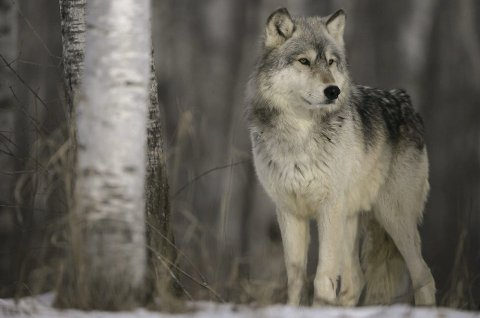 SNO får inn mye meldinger: Om mulig spor og observasjoner av ulv. En del av meldingene viser seg å være feilmeldinger, som hund og rev, ifølge Ole-Knut Steinset. Foto: Arkiv
