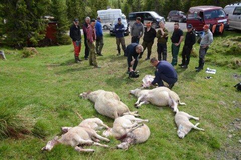 NEDGANG: Arkivbilde fra «ulvesommeren» 2017 i Vestoppland. Atskillig færre sauer ble drept i 2018.