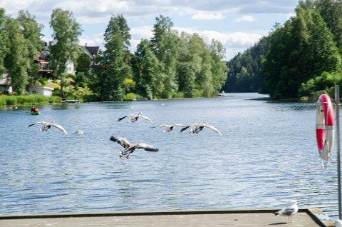 BADBART: Både fugler om mennesker koser seg rundt Kolbontvannet. Nå er også giftmengden såpass liten at du kan ta deg en dukkert der.
