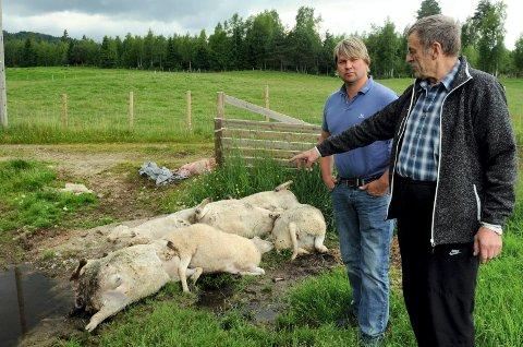 FØLT PÅ KROPPEN:  Per Roar Stømner og Kjell Eierholen driver med sau utenfor sonen, men har gang på gang fått føle problemene på kroppen.