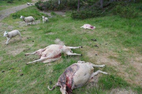 FLERE SKADER: Bildet viser rovviltskadene i Gammeldalen i Tynset tidligere denne uka.