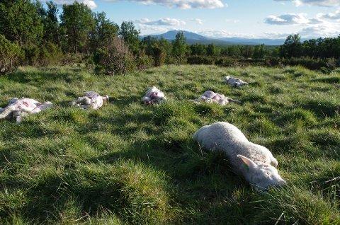 BIKKET 150: Tapstallene bikket 150 om morgenen lørdag 23. juni. Her er døde lam fra tidligere i uka, ved Gjeterbua på den vegløse Bekkvollen i Tolga østfjell. Foto: Tonje Hovensjø Løkken