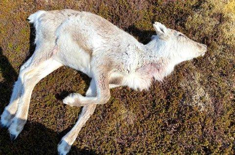 TRIST SYN: Slik fant Mirja Päiviö reinkalven på Ringvassøya. Nå har hun en bønn til hundeeiere som ferdes i naturen om å respektere båndtvangen.