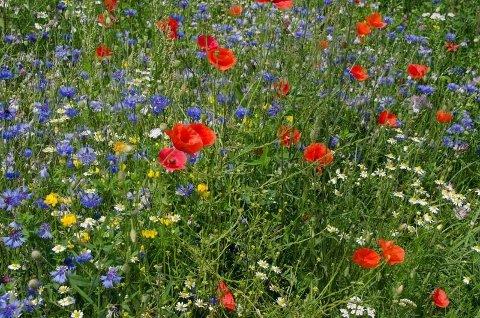 –Vi trenger flere «look a like-enger» ifølge blomsterengekspert Ellen Svalheim. (Foto: Erling Fløistad, Nibio/ANB)