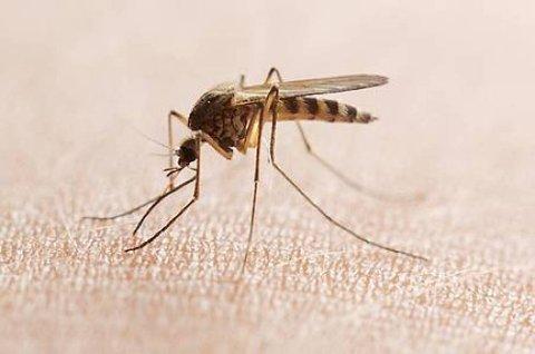 MISTRIVES: Mygg og flere andre insekter trives ikke når temperaturen stiger og sola steker.
