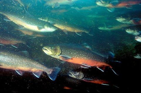 Stamfisk av røye i mære  Nøkkelord: Røye, Arctic charr, Arctic char, Omble chevalier, Saibling, sjøanlegg, røyeoppdrett, anlegg, oppdrett, mære, mærer, stamfisk, undervannsbilde