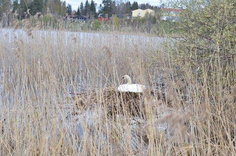 Hold avstand, oppfordrer både kommunen og ornitolog i Norsk Ornitologisk Forening (NOF).
