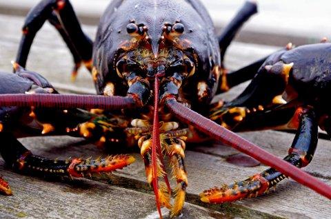 KRAV: Alle kan fiske hummer, men det er strenge regler som må følges.