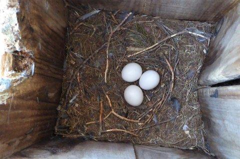 NULL BARN: Det ble ingen nye uglebarn i uglekassa nær Sandefjord sentrum i denne omgang. Eggene var rett og slett ikke befruktet.