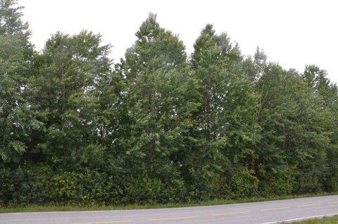 BLIR STÅENDE: På tross av henvendelser fra fortvilte naboer vil ikke Sandnes kommune beskjære disse trærne ved Sandneshallen.
