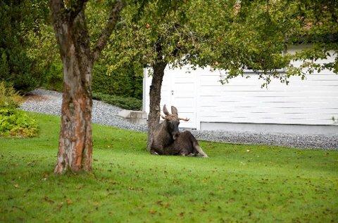 Elgen så ganske så avslappet ut under epletreet, men var mer sprelsk da han struttet rundt i hagen.