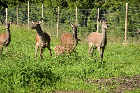 De siste årene har det blitt mer og mer hjort å se i Steinkjer kommune. Ikke så mange som disse i lag, men nå er ikke hjort et sjeldent syn lenger.