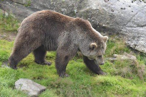 SENSASJON: Hvis det skulle vise seg at ei bjørnebinne med to unger har vært/er på Meheia, ses dette på som en stor sensasjon. Dette er for øvrig en brunbjørn fotografert i Bjørneparken i Flå/Vassfaret bjørnepark. (Foto: Knut H. Slettemo)