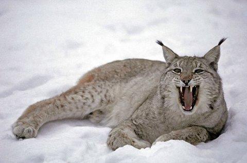 JAKT: Gaupejakta er i gang og allerede er fem dyr felt i Telemark.