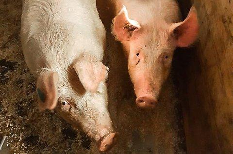 KONKURRANSE: Hva tror du grisene veier? Tipp vekten på Gavlesjåstulens Facebookside.