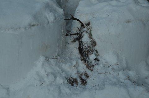 Tragisk: Det gjer vondt å sjå eit så staseleg dyr som har avslutta livet på ein så trist måte. Foto:Håkon Bakkene.