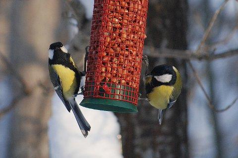 """Disse meisene er glade i nøtter. Solsikkefrø er også en favoritt på """"tallerkenen""""."""