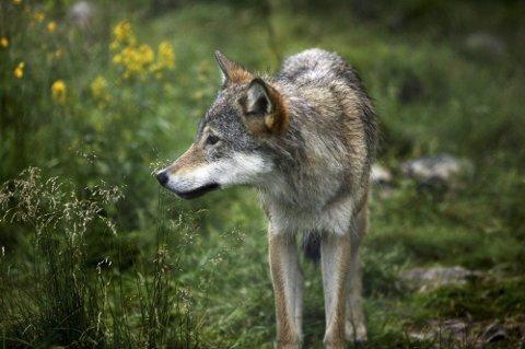 Felling: Holtålen kommune har fått tilskudd fra Fylkesmannen til flaggline som skal brukes til skadefelling av ulv.  foto njff