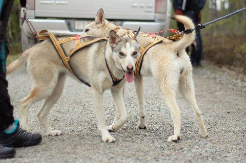 HAR DU SETT HOPE: Trekkhunden Hope slet seg i uværet under Femundløpet i helga. Det letes fortsatt og eier ønsker melding om observasjoner dersom noen ser hunden.