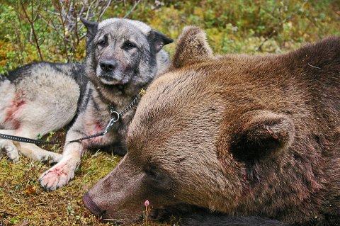 HUND OG BJØRN: Norsk elghund grå er blant hunderasene som brukes til å spore bjørn. Illustrasjonsfoto.