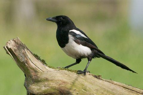 Fuglene med relativt stor hjerne, som skjæra og de andre kråkefuglene, ser ut til å lære seg trafikkstrømmens hastighet på ulike steder og vet hvilken fil som har minst trafikk.