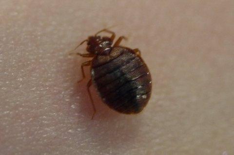 Veggedyr er et nattaktivt insekt som suger blod mens vi sover. Foto: Pressebilde/ANB