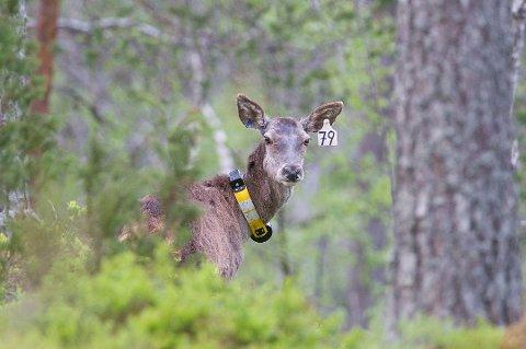 31 GPS-merkede hjort i Agder og Telemark har sendt mer enn 100.000 meldinger om sine posisjoner. Nå vet forskerne mye mer om hjortens liv.