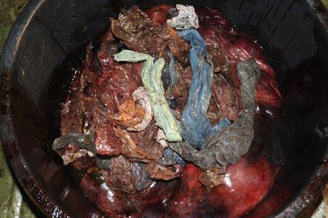Dette var innholdet i magen på gåsnebbhvalen som ble funnet på Sotra. Plastposer og plastbiter, men veldig lite næring.