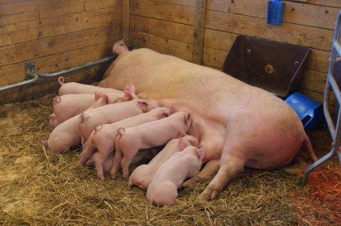 ERFAREN BONDE: Bonden som vant fram med kravet mot forsikringsselskapet, har drevet med gris siden tidlig på 1990-tallet. Han har bygd opp en storbesetning, der han årlig har levert cirka 7.000 smågris.