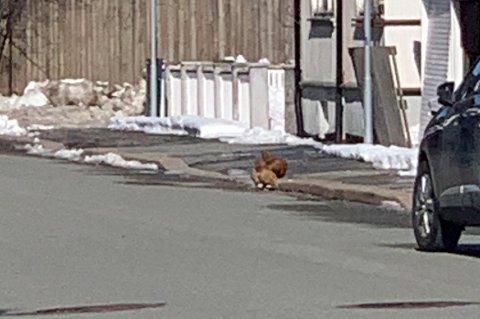 En nabo i Nybyen knipset bilde av en høne på villspor mandag. Høna skal tilhøre en hønseeier som nå blir klaget på.