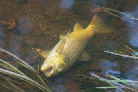 Død fisk i Børterelva.