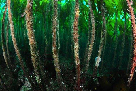 Tett tareskog ved fuglefjellet på Runde i havet på Mørekysten. Kelp forest in Norway.  Foto: © Lill Haugen / NTB scanpix