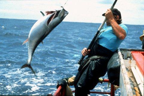 En fisker i australske farvatn dreg inn ein makrellstørje for å merke den og sleppe den laus igjen. No skal norske forskarar gjere det same.