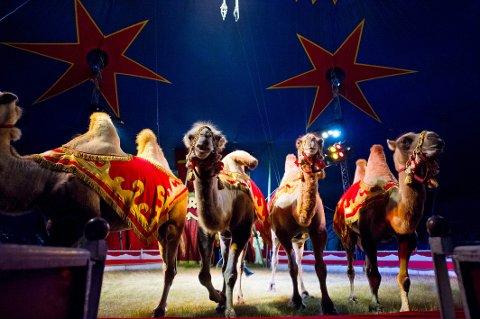 I manesjen igjen: Cirkus Arnardo byr blant annet på kameler og lamaer når det nok en gang inntar Fredrikstad-distriktet.