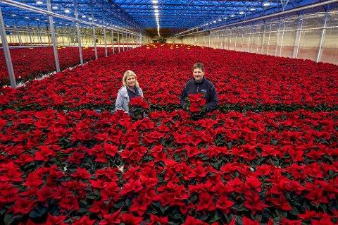Det er jul så langt øyet kan se hos Andersens gartneri i Råde. Driftsjef Hilde Poppe, daglig leder Mange Andersen og kollegene dyrker frem julestjerner på svimlende 32.000 kvadratmeter.