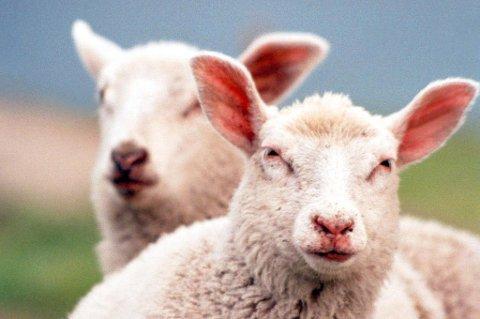 STJÅLET? Dyrebeskyttelsen frykter at sauer er stjålet i Gratangen, og lover dusør til de som har opplysninger om dem.