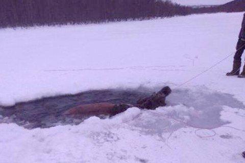 KJEMPER: Her er ettersøkskorpset til Vitnemnda i Målselv i gang med å hale elgkua opp av råken. (Foto: privat)