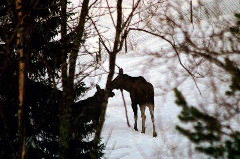 SKUTT: Ei elgku ble skutt med salongrifle i Beisfjord 6. mars. - Graverende, sier politiet om fellingen,