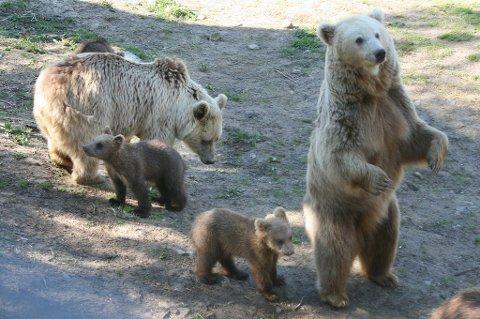 FÅR FÅ BESØK: Turister også til Polar Park er stoppet av smitteverntiltakene. Bemanningen er tatt ned til et minimum - blant annet for å sikre at bjørnene blir passet på.