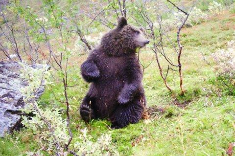 FLERE BJØRNER: Et viltkamera tok i fjor høst bilder av denne bjørnen i Bardu. Til sammen ble det registrert 66 bjørner i Troms og Finnmark.