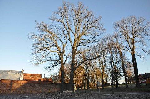 FARLIG: Den største av de tre bøketrærne ved parkeringsplassen i Nedre vei på KJV, er felt. Treet var hardt angrepet av en soppsykdom.