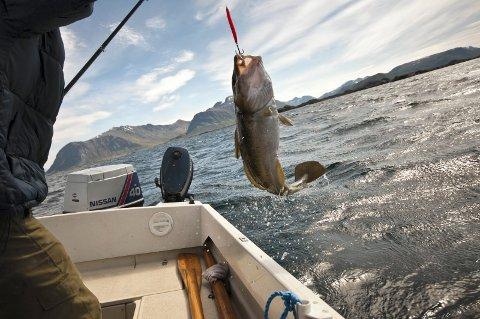FORSVINNER: Havtorsken er blant de artene som kan være truet, og en av flere årsaker kan være at vi ikke har klart å få ned utslippene i Oslofjorden.