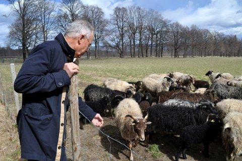 TØRKESOMMER: Beitemarkene ga lite mat til sauene til Westye Høegh på Fjugstad i sommer. (Bildet ble tatt i 2014, før han overdro gården til neste generasjon).