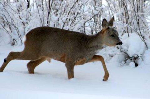 SLITER: Rådyra har det ikke godt i dyp snø og kaldt vær. Vinteren er hard for viltet.