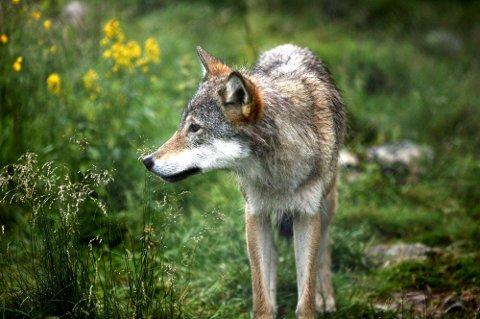 Tellingene viser at det til sammen var 90-93 ulver med helt eller delvis tilhold på norske arealer nå i vinter, mot cirka 75 ulver vinteren før.