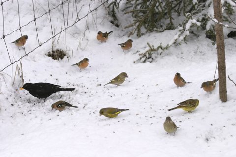 Fugleliv: Her ser vi svarttrost, bokfink, grønnfink og en gulspurv.bilder: Ole-Johnny Myhrvold