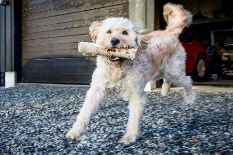 IVRIG: Den gang to og et halvt år gamle blandingshund Basso var i full fart med å hente inn ved fra garasjen da Glåmdalen kom på besøk for fem år siden.