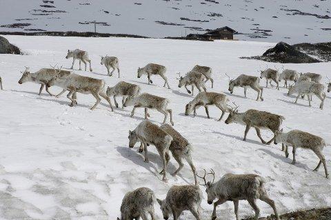 Lider tap: Fjellstyrene, rettighetshavere og grunneiere får svi når jaktkvotene på villrein blir kraftig redusert.     Foto:Vidar Heitkøtter