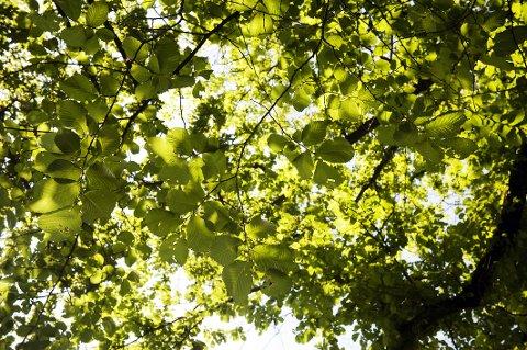Taket er det vakreste i byens grønne rom. Her under bladene til Ulmus glabra, alm.